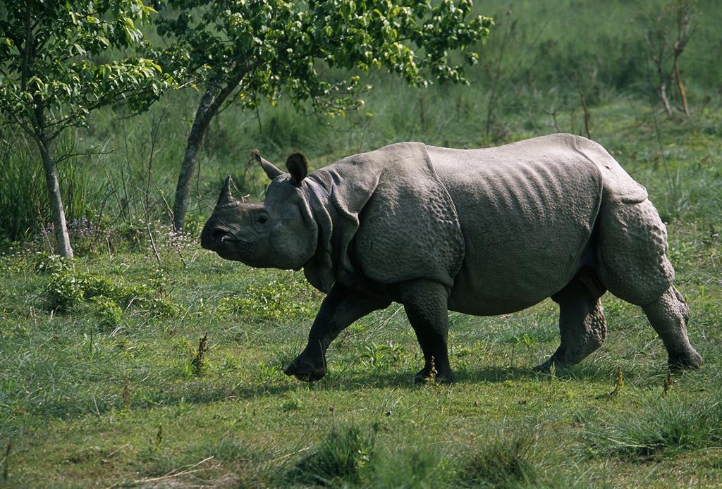 Indian rhinoceros (Rhinoceros unicornis); Royal Chitwan National Park, Terai Arc Landscape, Nepal